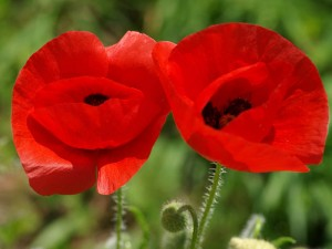 Coquelicot en couple 300x225 La force de lintention