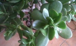 Photo Crassula